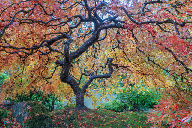 Japanese Maple, Portland Japanese Garden, Maple Tree, Fine art photography, limited edition