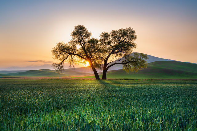 palouse, steptoe butte, tree, sunrise