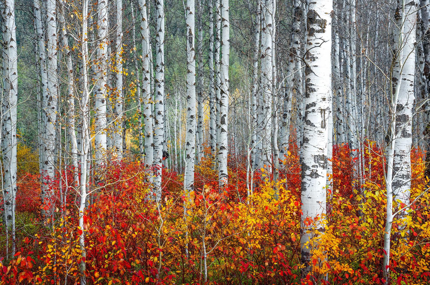 birch tree, aspen tree, fall colors, leavenworth washington