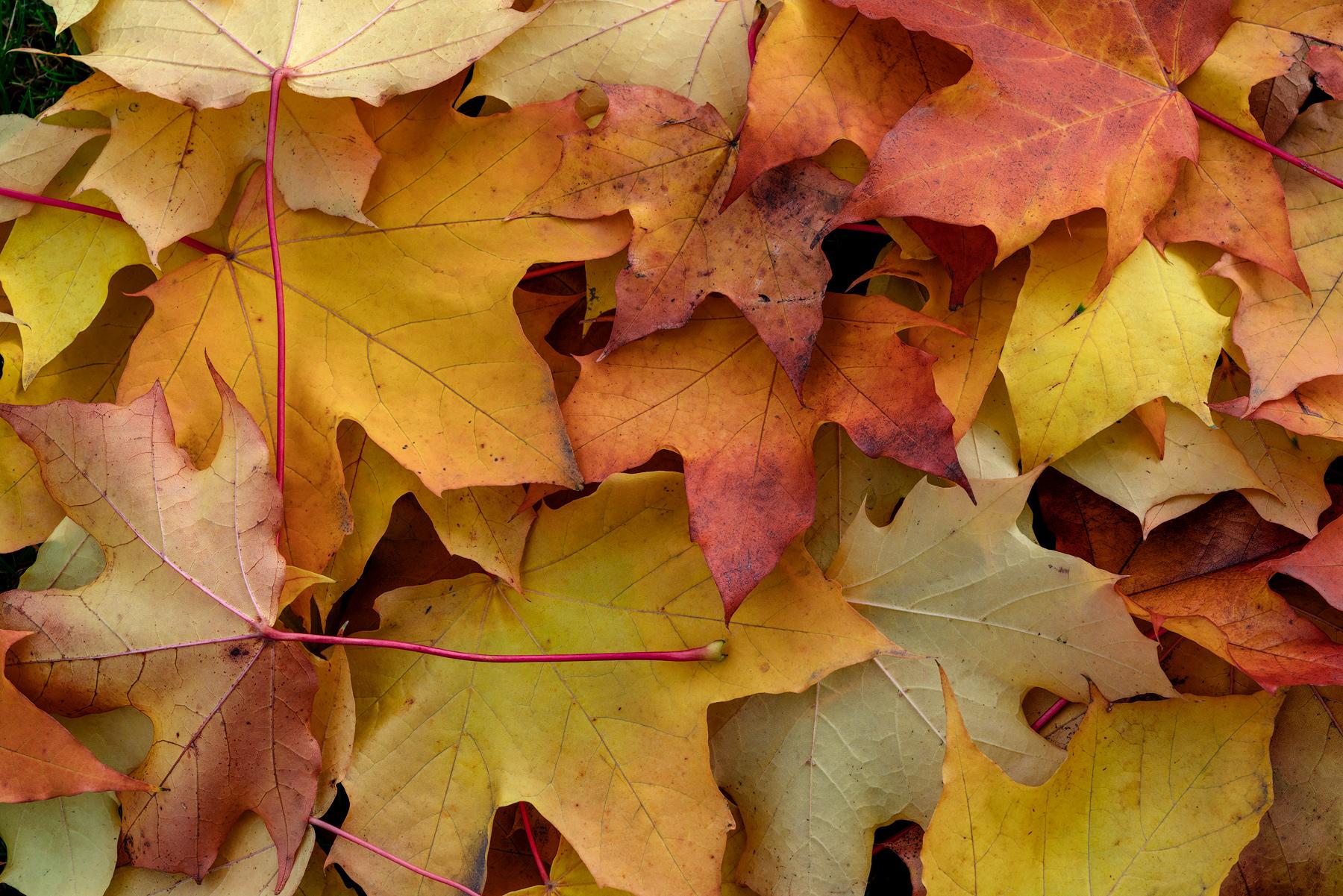 fall leaves, autumn, photo