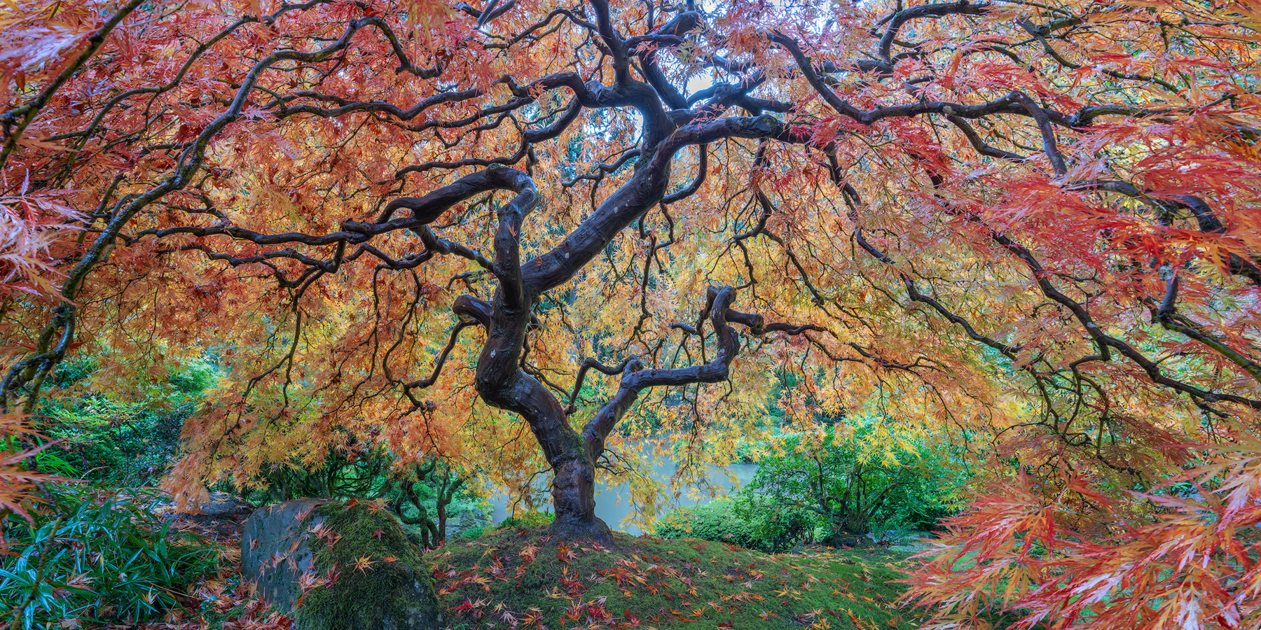 Portland Japanese Garden, Maple tree, fine art, limited edition, photo