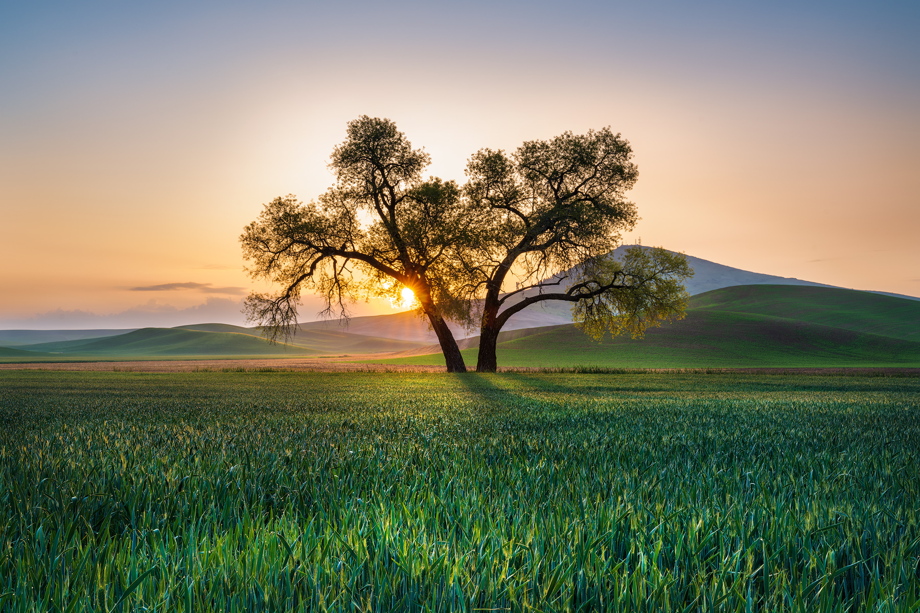 NATURE FINE ART LIMITED EDITION OF 100The rising sun over Steptoe butte illuminates the dew drops on this field of wheat.&nbsp...